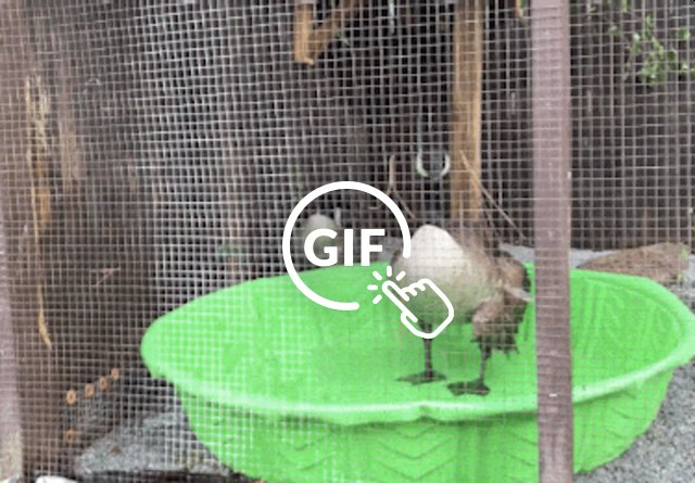 Goose who lost her mate takes bath with new friend at AWARE