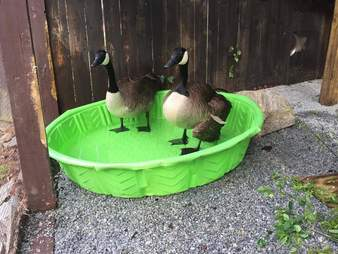 Goose who lost her mate bonding with new friend