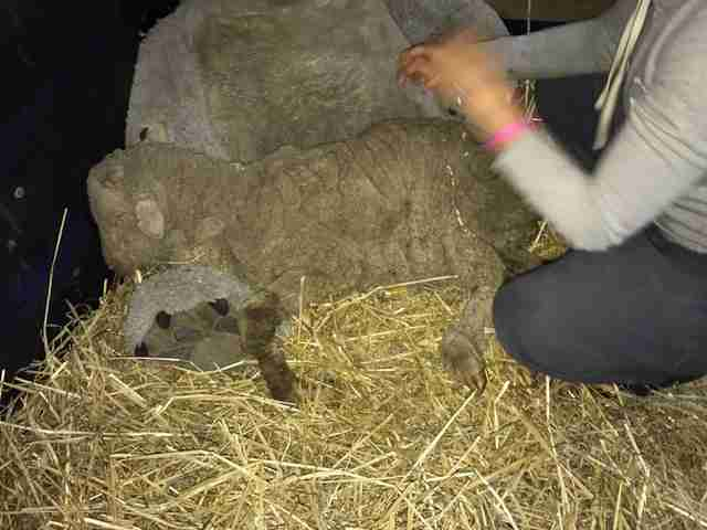 Lambert the lamb shortly after being rescued