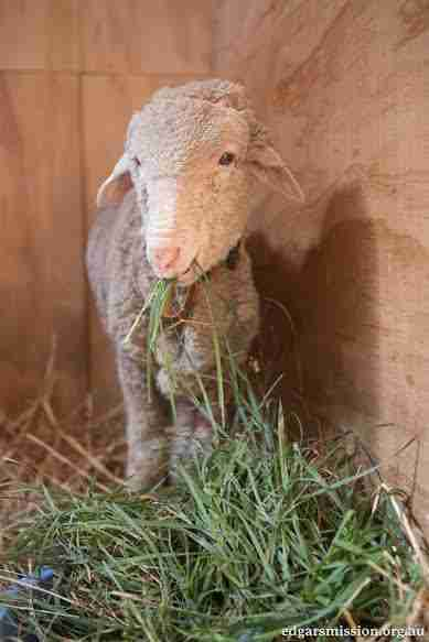Lambert the lamb at Edgar's Mission, an animal sanctuary in Australia