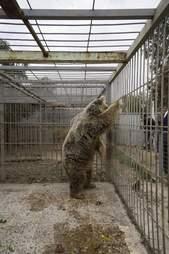 Bear in war-torn Mosul, Iraq zoo