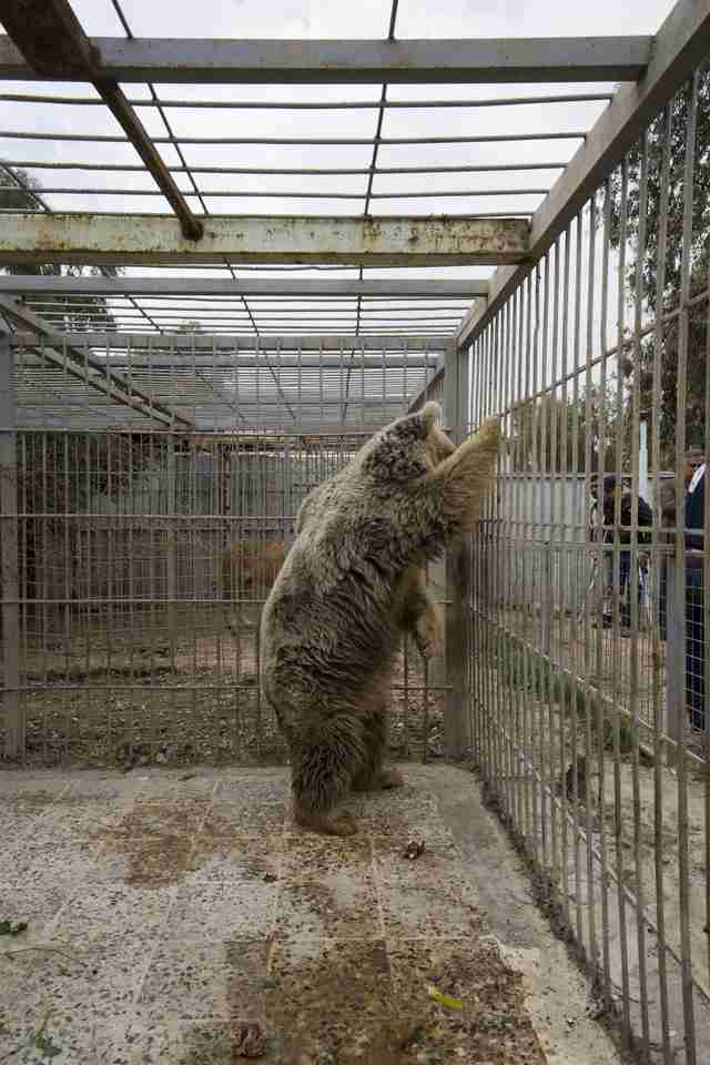 Bear in war-torn Mosul, Iraq zoo