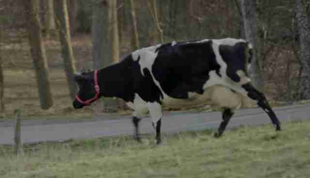 A former dairy cow now living at an animal sanctuary in Tennessee
