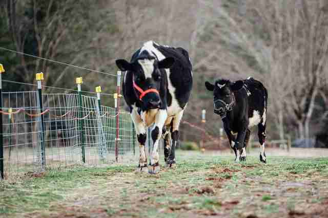 A former dairy cow reunited with her baby