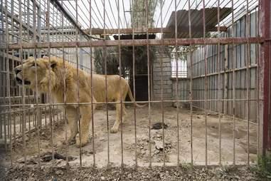 Lion in war-torn Mosul, Iraq zoo