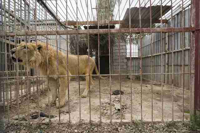 Lion in war-torn Mosul, Iraq zoo