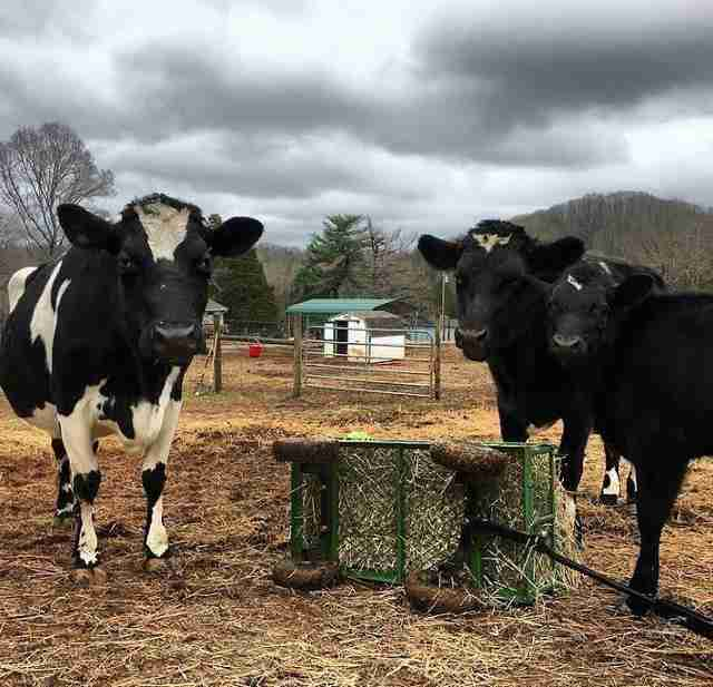 A former dairy cow with two of her babies at an animal sanctuary