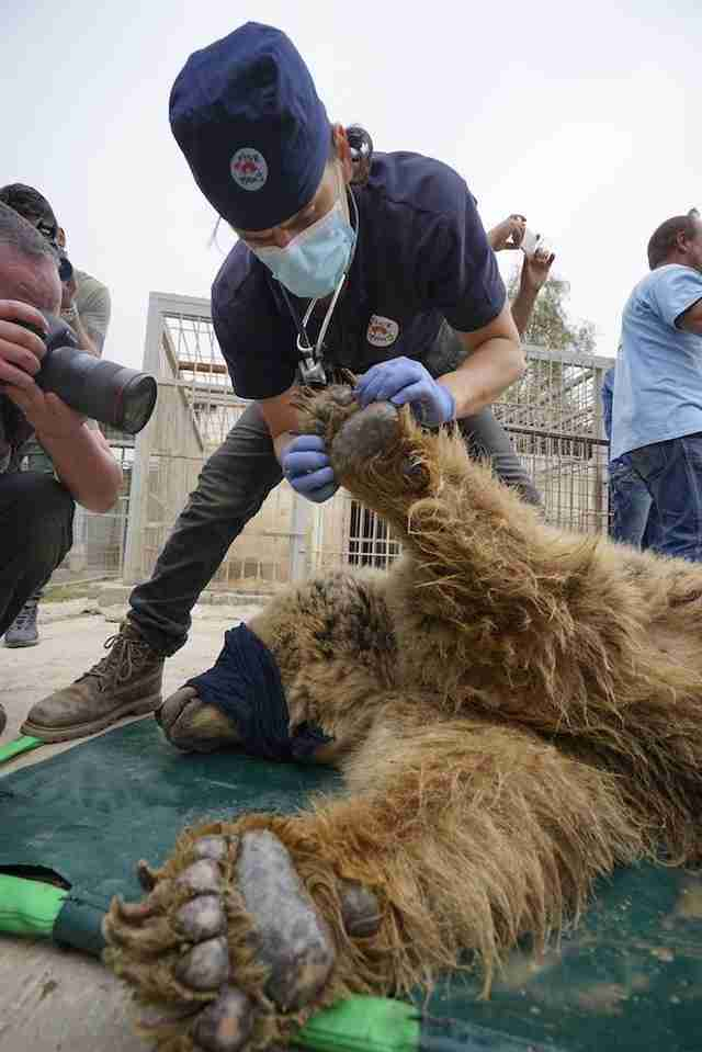 Bear being rescued from war-torn Mosul, Iraq zoo
