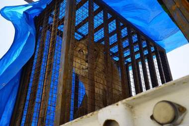 Lion being rescued from war-torn Mosul, Iraq zoo