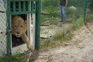 Lion from war-torn Mosul, Iraq, zoo arriving at Jordon rescue center