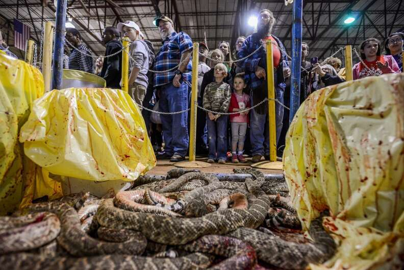 Dead snakes in the killing area of the Sweetwater roundup