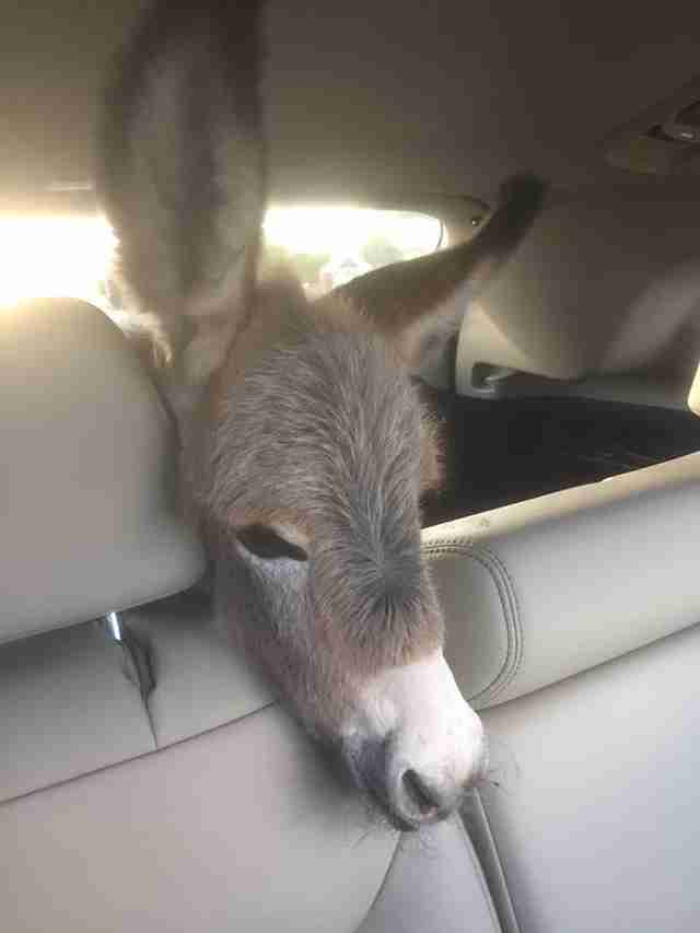 Sick baby donkey being driven to the vet in an SUV
