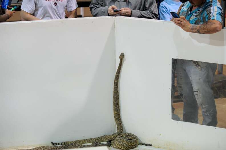 A rattlesnake in the holding pit at the Sweetwater snake roundup festival