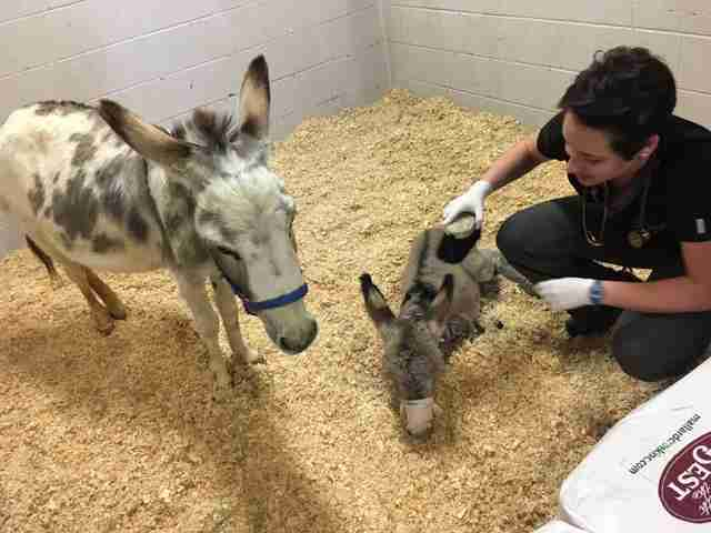 Sick baby donkey with her surrogate mother and a vet