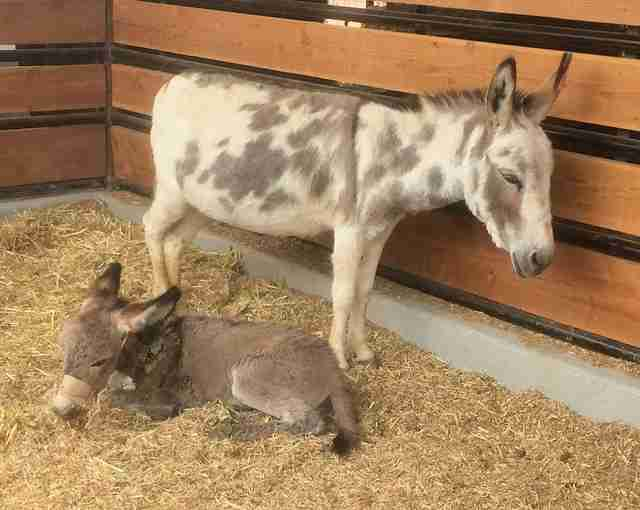 Sick baby donkey with her surrogate mother