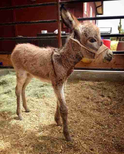 Baby donkey recovering from illness