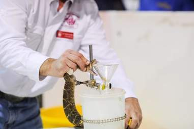 A man milking venom from a rattlesnake at the Sweetwater snake roundup festival