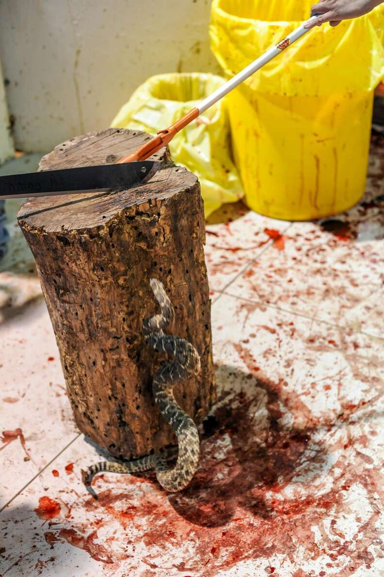 Killing a rattlesnake at the Sweetwater snake roundup festival