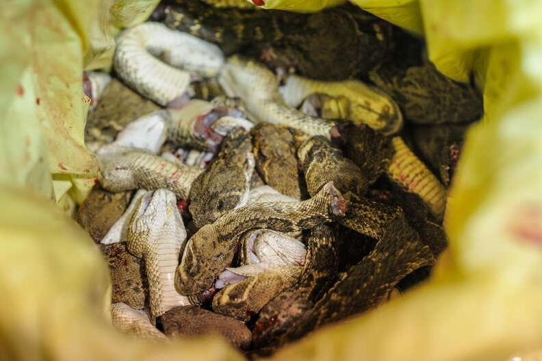 Decapitated rattlesnake heads at the Sweetwater snake roundup festival