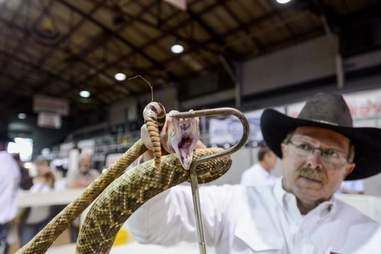 A man holding up a rattlesnake at the Sweetwater snake roundup festival