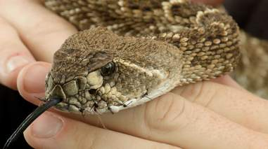A snake with his mouth sewn shut at an Oklahoma roundup festival