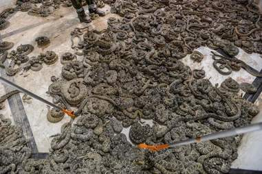 Rattlesnakes in the holding pit of the Sweetwater snake roundup festival