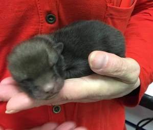 Fox cub who was mistaken to be puppies