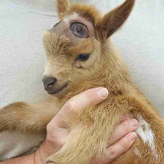 Goat after getting horns burned off in disbudding procedure