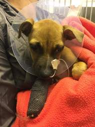 Sick puppy getting treatment for parvo virus