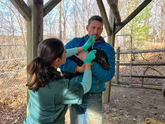 Rescued potbelly pig getting vet care