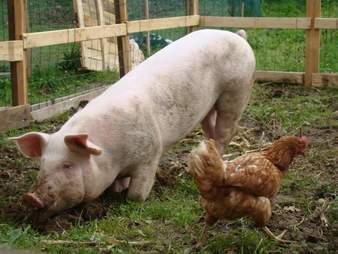 Odi the pig in Slovenia
