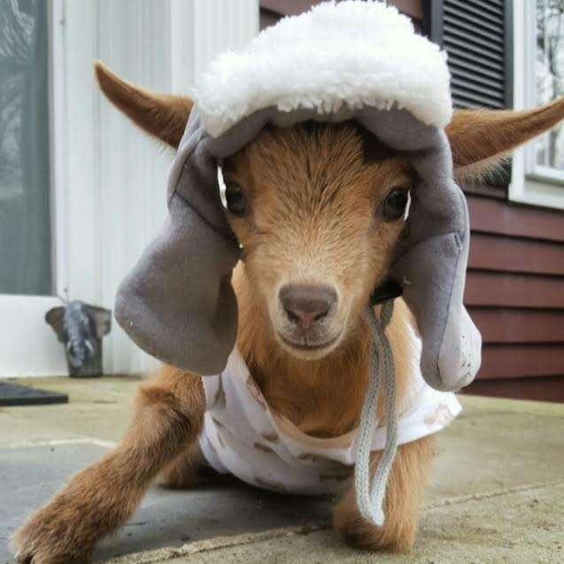Goat wears a soft hat after getting his horn disbudded