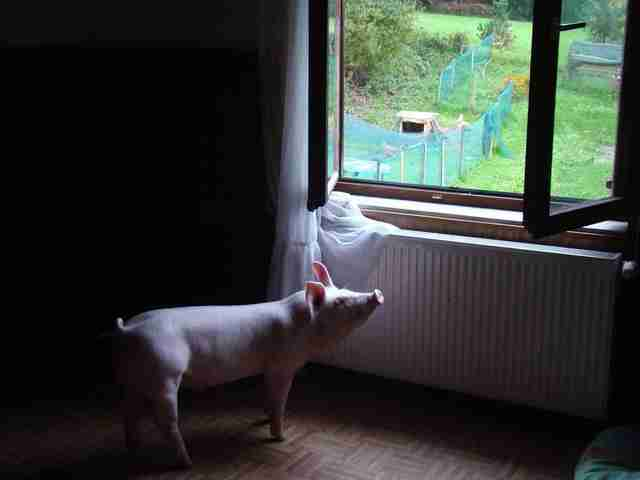 Odi the pig in Slovenia