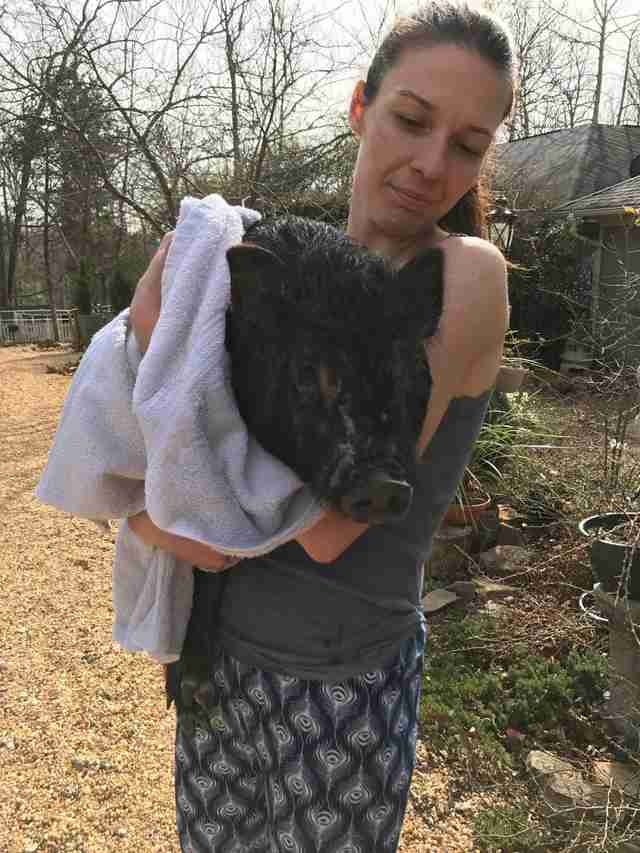 Rescued potbelly pig after getting a medicated bath
