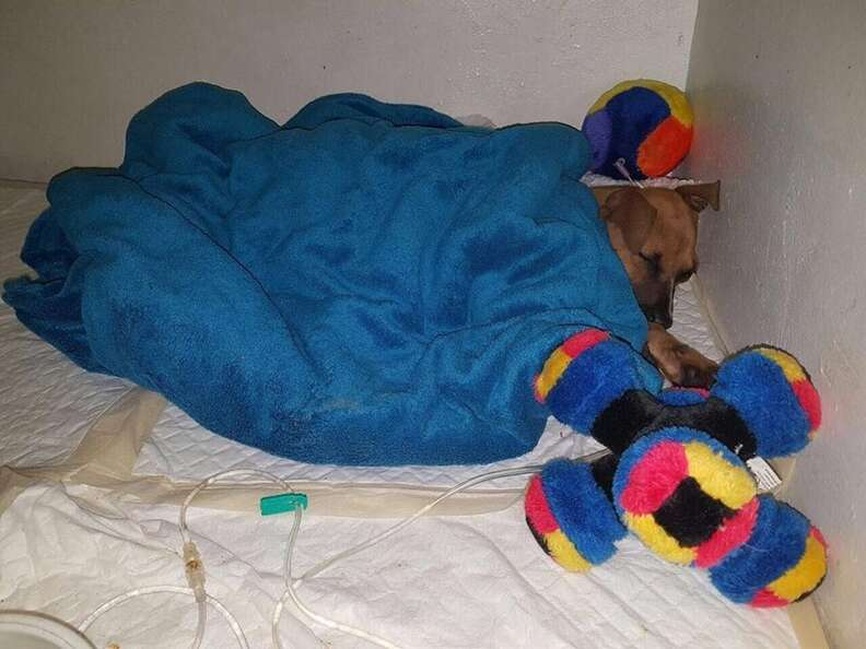 Sick puppy getting treatment for parvo virus