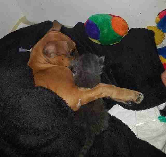 Sick puppy with parvo virus being visited by foster cats