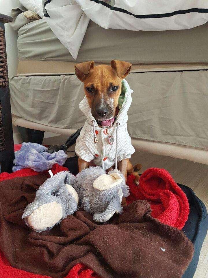 Puppy recovering from parvo virus