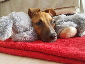 Puppy recovering from parvo virus, snuggling with his toy