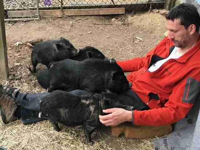 Rescued potbelly pigs at an animal sanctuary
