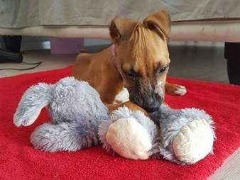 Puppy who survived parvo virus snuggling with his toy