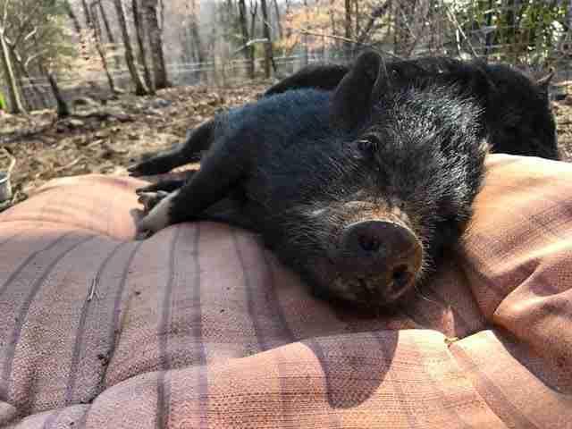 Rescued potbelly pig lying on a cushion