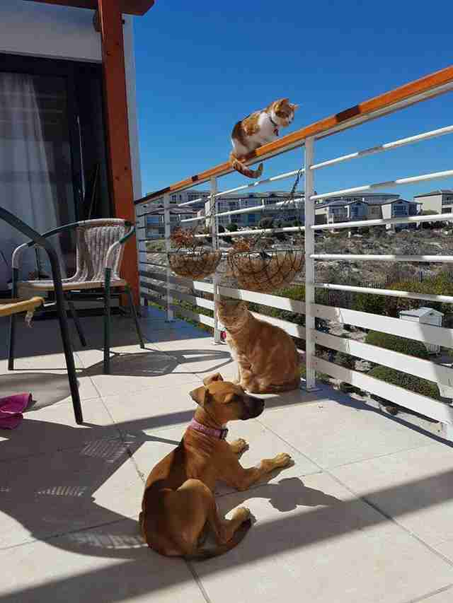 Puppy hanging out with two cats on an apartment balcony