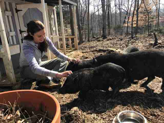 Potbellied pigs with their rescuer