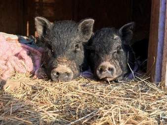 Rescued potbellied pigs snuggling together