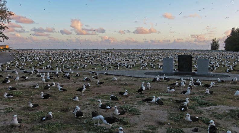 Black-footed albatrosses on low-lying island in Hawaii