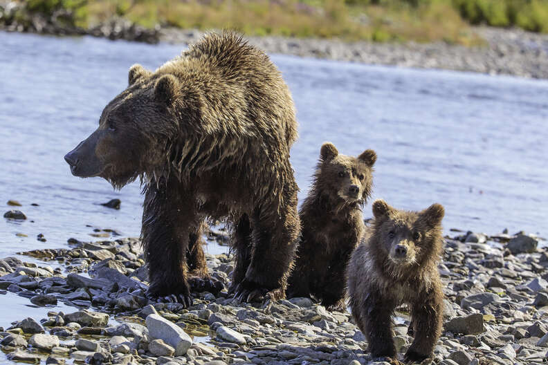 Grizzly bear family in Alaska