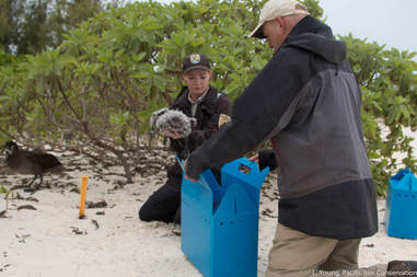 Black-footed albatross chicks being relocated in Hawaii