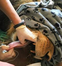 simba the lion during a medical check-up by chloe breakwell