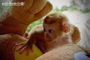 Baby macaque monkey with a stuffed animal at a wildlife hospital in Thailand