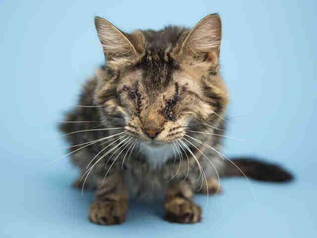 Blind cat rescued by the Arizona Humane Society